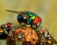Green Bottle Fly Stock Image