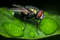 Green Bottle Fly After the Rain Royalty Free Stock Photo