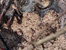 Maggots. Green Bottle Flys (Phaenicia sericata) and maggots on a beaver carcass Royalty Free Stock Photo