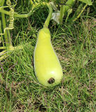 Green bottle gourd Royalty Free Stock Photography