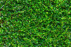 Green box hedge background with green leaves Royalty Free Stock Photography