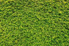 Green Box Hedge wall textured royalty free stock image