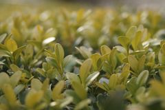 Green boxwood branch buxus sempervirens Royalty Free Stock Images