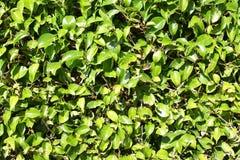 Green Boxwood Hedge Background Royalty Free Stock Photo