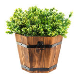Green boxwood pick in wood bucket. Isolated on white Stock Photos