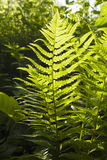 Green bracken plant. In the forest stock photography