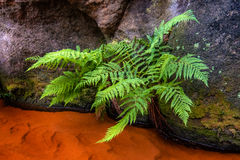 Green bracken. At a rock wall over red color water royalty free stock photos