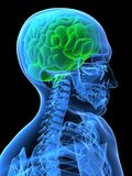 Green brain. 3d rendered x-ray illustration of a human head with a green brain Royalty Free Stock Photo