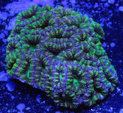 Green Brain Coral. Green acanthastrea brain coral underwater Royalty Free Stock Photo