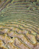 Green brain coral, close up detail Royalty Free Stock Images