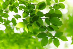 Green Branch. Stock Photography