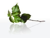 Green branch Royalty Free Stock Photography