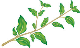 Green branch Royalty Free Stock Image