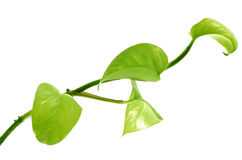 Green branch. Isolaten on white royalty free stock photos