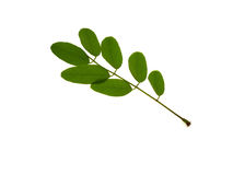 Green branch of an acacia Royalty Free Stock Photos
