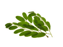 Green branch of an acacia Stock Photo