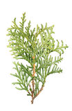 Green branch of arborvitae or Thuja occidentalis isolated on white background. Green branch of arborvitae Thuja occidentalis isolated on white background Royalty Free Stock Image