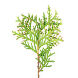 Green branch of arborvitae or Thuja occidentalis isolated on white background. Green branch of arborvitae Thuja occidentalis isolated on white background Royalty Free Stock Images