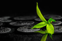 Green branch bamboo on zen basalt stones with dew, beautiful spa Royalty Free Stock Photos