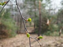 Green branch birch almost blooming in spring.  stock photos