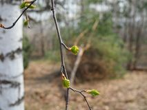 Green branch birch almost blooming in spring.  stock image