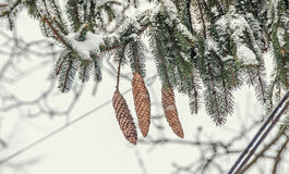 Green branch with brown pine cones, ice and snow in winter time.  Stock Images