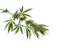 Green branch cannabis with five fingers leaves , marijuana isol royalty free stock photo