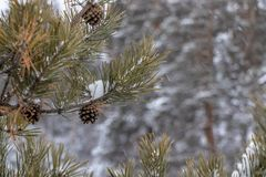 Green branch with cones close-up with snow. Brown fir cones stock photos