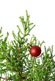 Green branch of decorative home pine tree with red Christmas-tre. E ball. Isolated on white background Stock Photos
