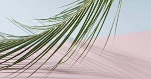 Smooth slow movement of a branch of an green tropical palm tree with long leaves touching a duotone pink blue background. The green branch of an evergreen stock video footage