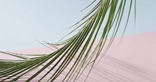 Smooth slow movement of a branch of an green tropical palm tree with long leaves touching a duotone pink blue background. The green branch of an evergreen stock footage