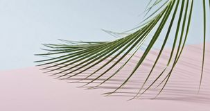 Smooth slow movement of a branch of an green tropical palm tree with long leaves touching a duotone pink blue background. The green branch of an evergreen stock video