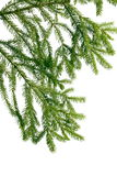 Green branch of  fir-tree Stock Images