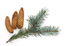 Green branch of a fir-tree, on the isolated white background. royalty free stock images