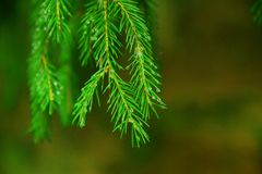 The green branch of fir tree royalty free stock images
