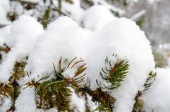 Green branch of fir under the snow cap. Stock Image