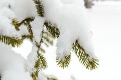 Green branch of fir under the snow cap. Royalty Free Stock Photography