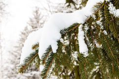 Green branch of fir under the snow cap. Stock Photo