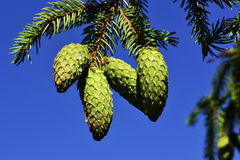 Green branch of a fir with young cones against blue sky Royalty Free Stock Photo