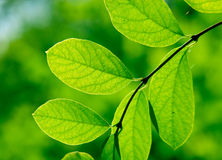 Green branch in a forest. Green branch in the forest Royalty Free Stock Images
