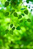 Green branch of fresh leaves Stock Images