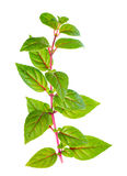 Green branch of fuchsia with red veins with dew is isolated on w Stock Image