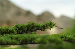 Green branch of a fur-tree Royalty Free Stock Photo