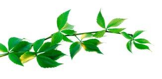 Green branch of grapes leaves (Parthenocissus quinquefolia folia Stock Images