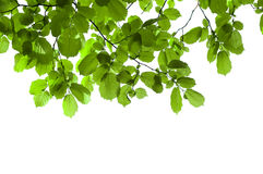 Green branch isolated Royalty Free Stock Photos