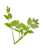 Green branch Royalty Free Stock Photo