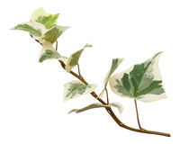 Green branch of ivy Royalty Free Stock Images