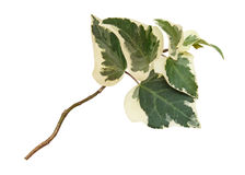 Green branch of ivy Royalty Free Stock Photos