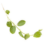 Green branch of ivy Stock Photo