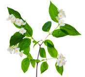 Green branch with jasmin flowers Stock Photo